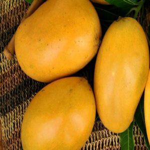 mango varieties in bangalore